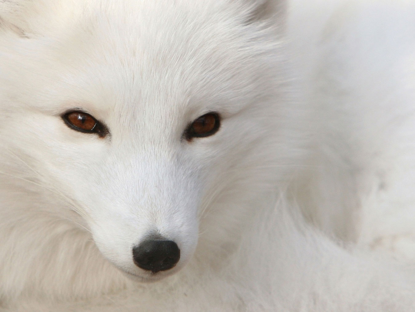 http://3.bp.blogspot.com/-707-1O534SI/TkeaTl9DU5I/AAAAAAAA1ew/RHNHCtftWoI/s1600/White_Polar_Silver_Fox.jpg