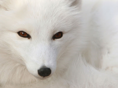 White Polar Silver Fox