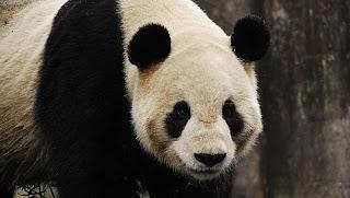 oso panda biocombustible