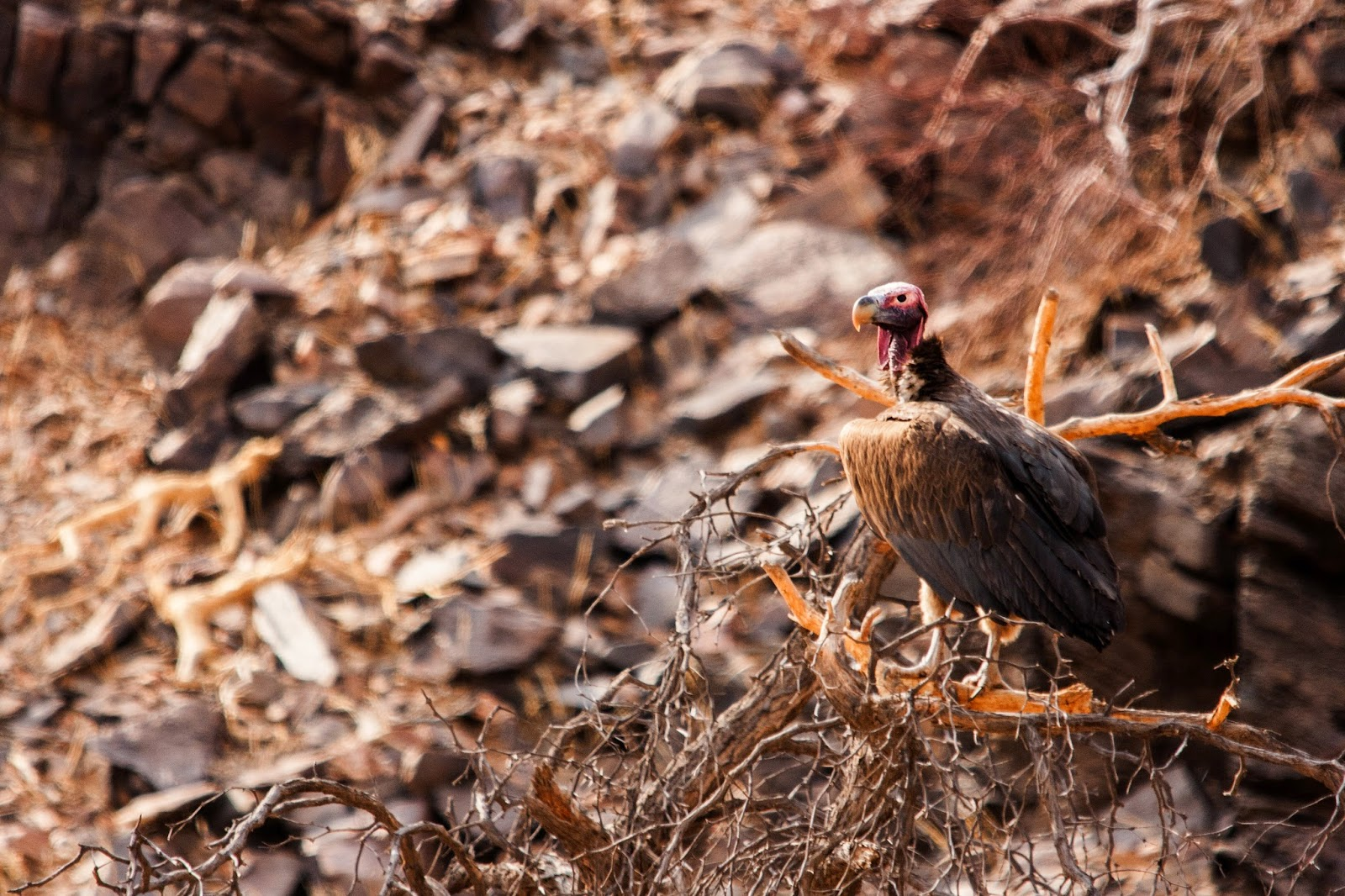 lappet faced vulture namibia