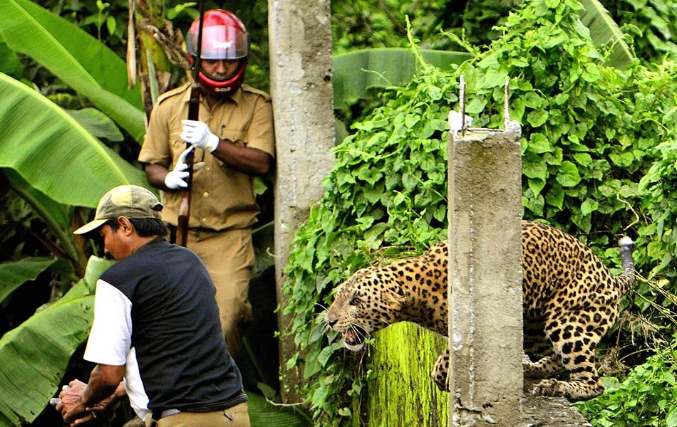 Siliguri India  city pictures gallery : Celebrity Online Today: Leopard Attacks Man in Siliguri, India