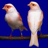 resultado da femea branca e do macho laranja e branco