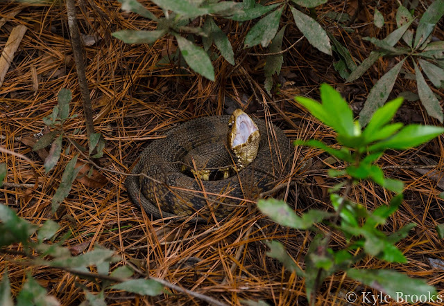 Cottonmouth threat display
