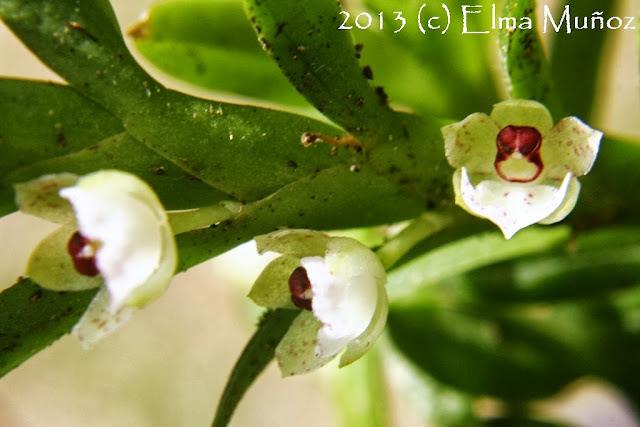 Dichaea anchoraelabia. Orquideas del Perú
