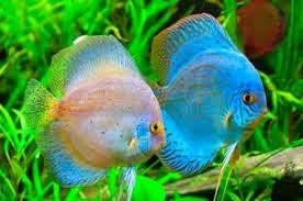 ikan hias aquarium
