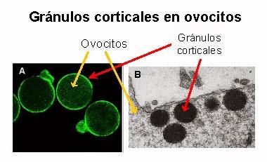 Los gránulos corticales son vesículas esféricas que se sitúan en las proximidades de la membrana del ovocito