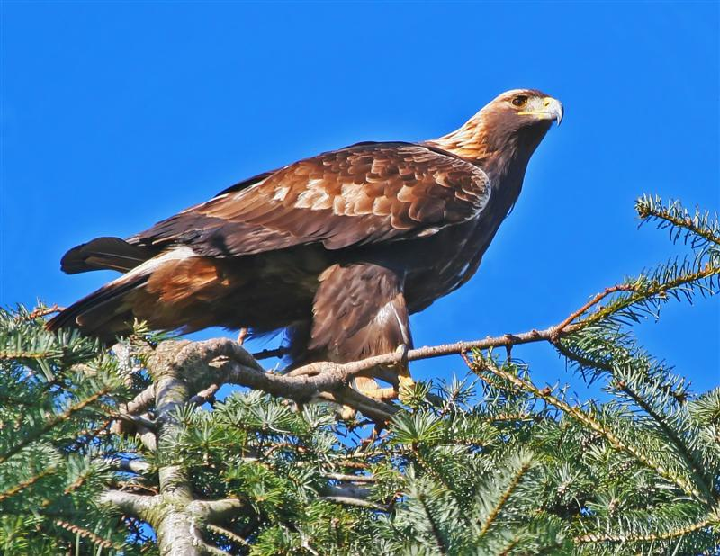 golden eagle pictures. As the Golden eye eagle soars