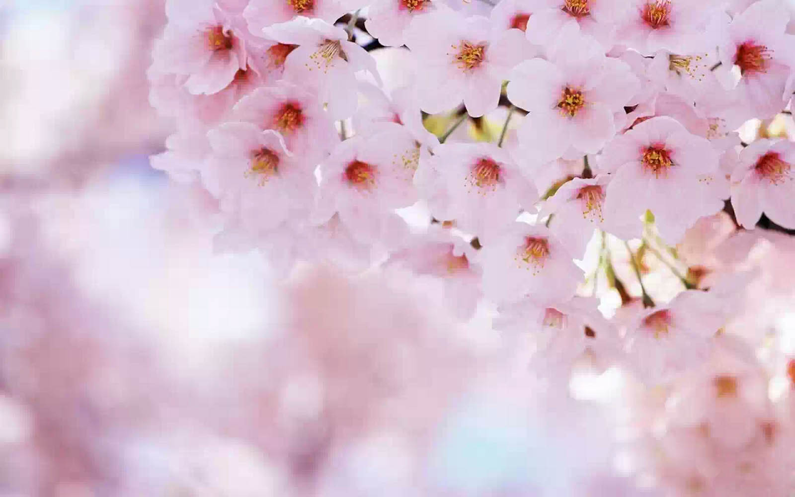 Wallpapers cherry flowers wallpapers Cherry blossom pictures