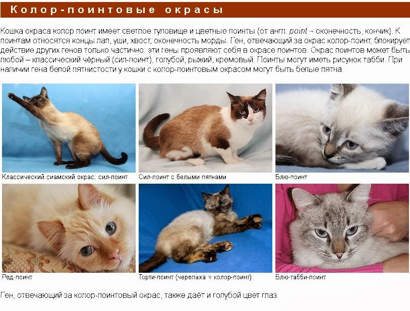 Какие окрасы кошек с какими вязать