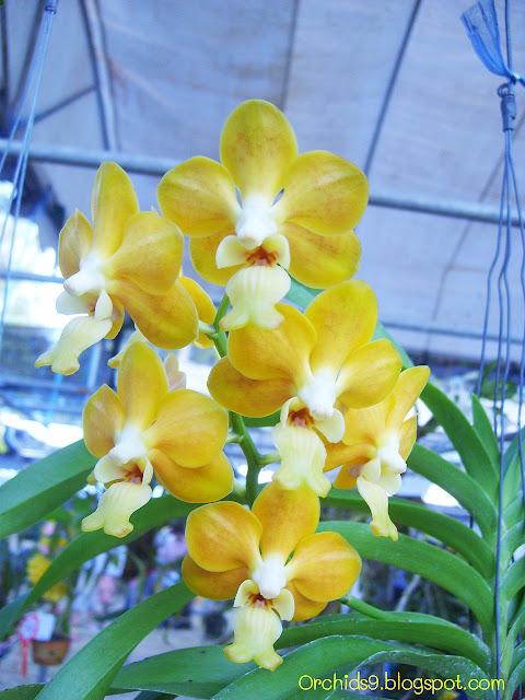http://3.bp.blogspot.com/-72yoWz4M5OI/Tw4skliEu4I/AAAAAAAABVM/5gQfgbp6nGE/s1600/Vanda+denisoniana+Orchid+Flowers+Pictures+51.JPG