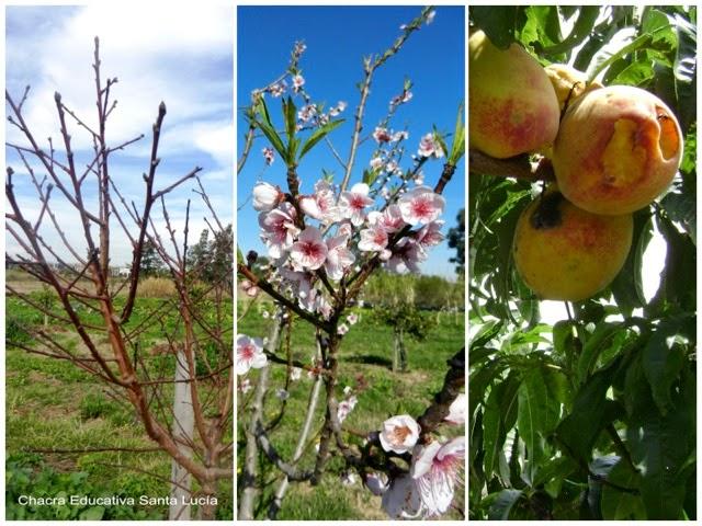 Duraznero en invierno, primavera y verano - Chacra Educativa Santa Lucía