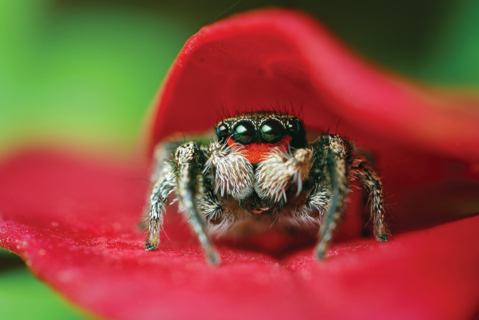 [Image: Habronattus-Coecatus-in-Leaves.jpg]