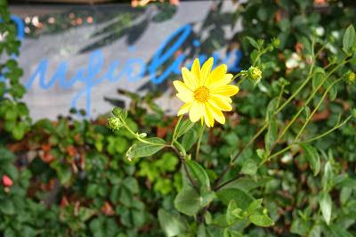 Fiore giallo davanti alla vetrina di un ristorante