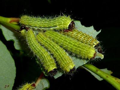 Copaxa multifenestrata caterpillar