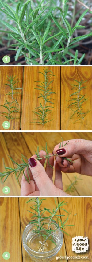 How to Propagate Rosemary from Stem Cuttings, shared by Grow a Good Life