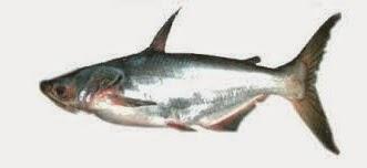 umpan jitu untuk ikan juaro,umpan ikan juaro di sungai, rahasia umpan, Macam-macam Teknik Mancing, tips untuk mancing ikan, resep umpan, Teknik casting, Ikan Juaro,Mancing Ikan Juaro,