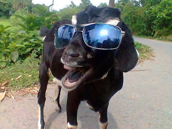 Funny animals of the week - 3 January 2014 (40 pics), goat wears sunglasses
