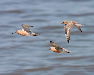 Image of Red Knots