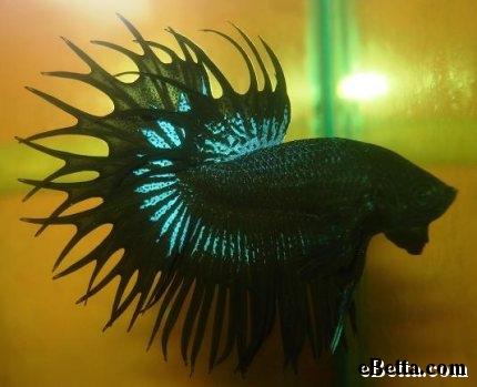 black orchid beta fish