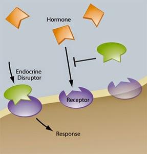 Estrogen Distruptor, reseptor estrogen