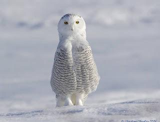 burung hantu owl bird