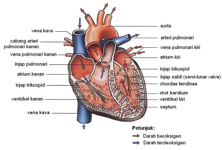 45221 besides The Function Of The Respiratory System And The Importance Of Respiration Process besides Dr B Ch 24lecturepresentation likewise 12102141 as well Abdominal Cavity Organs. on thoracic cavity diagram