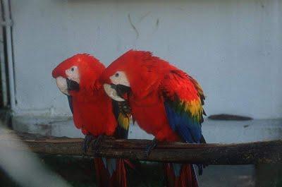 Burung Kakak Tua Yang Gangster
