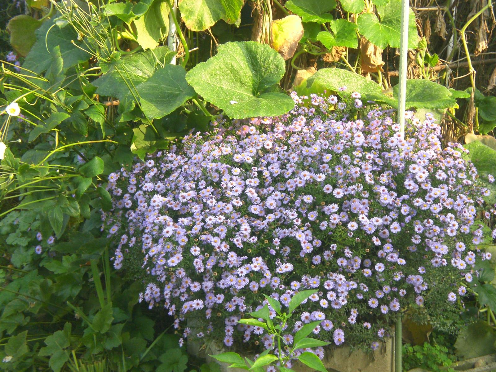 Le soluzioni alternative anemoni e settembrini - Settembrini fiori ...