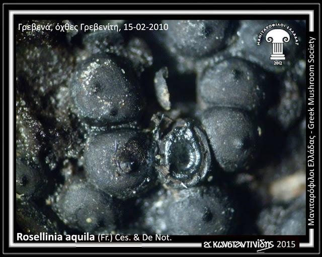 Rosellinia aquila (Fr.) Ces. & De Not.