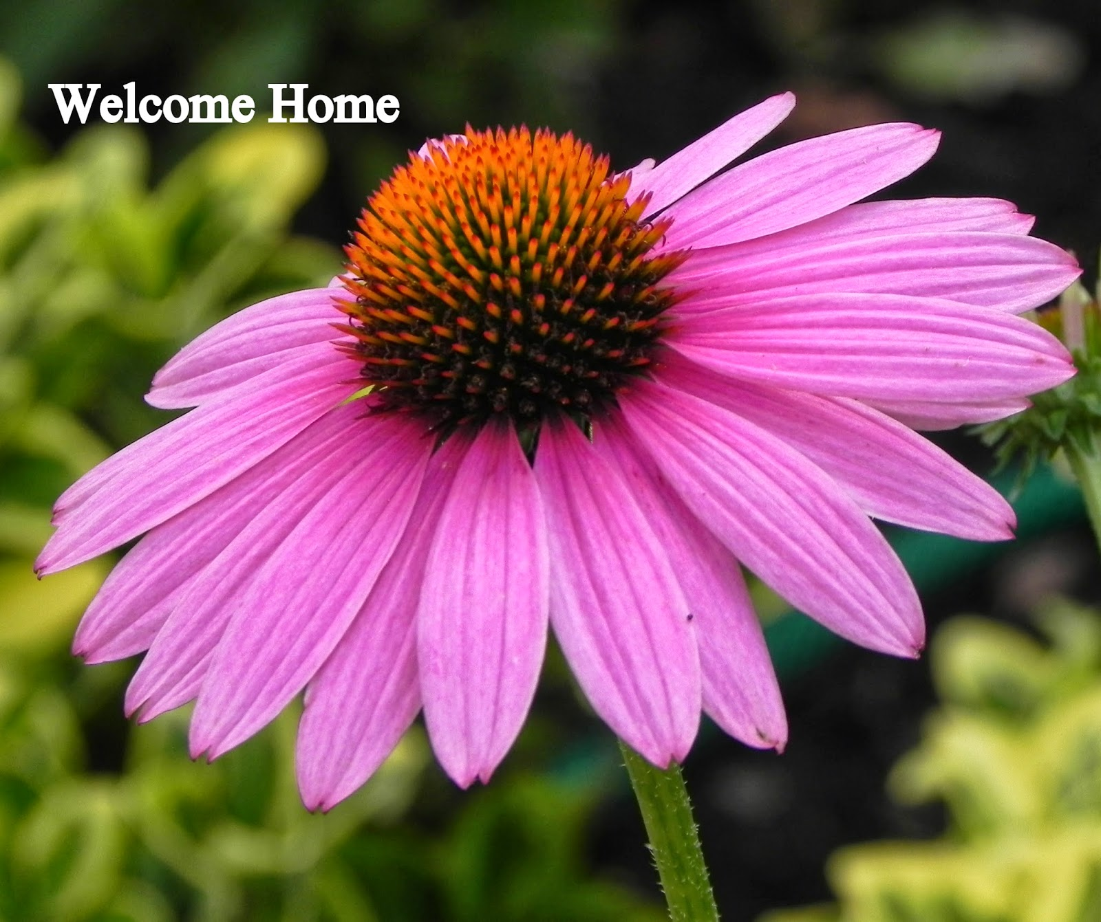 Welcome Home Blog Purple Cone Flower