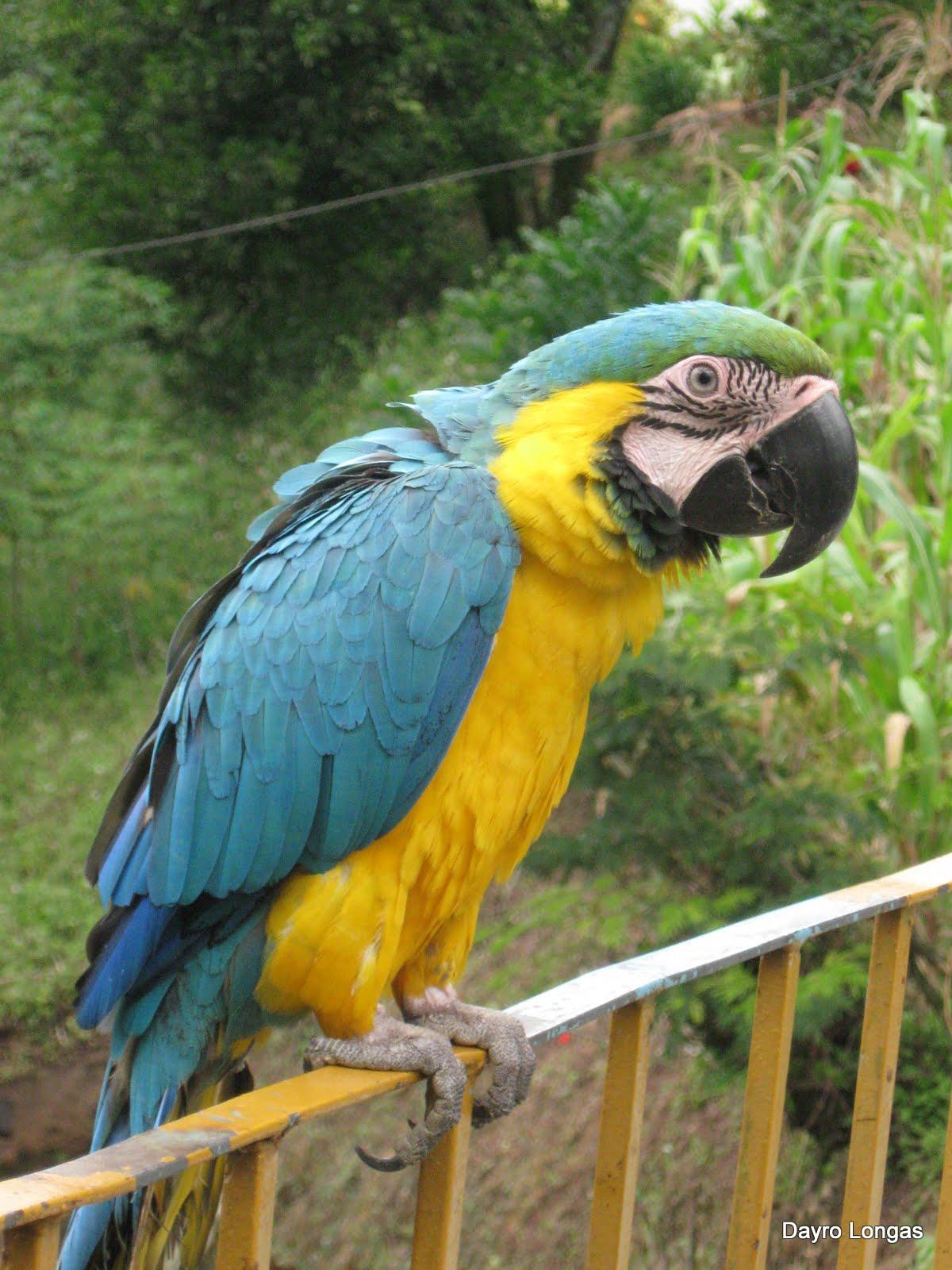 Guacamaya amarilla