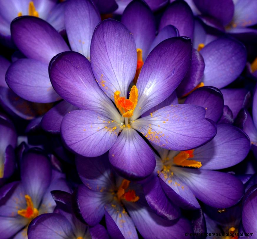 Images Of Purple Flowers   HD Wallpapers and Pictures