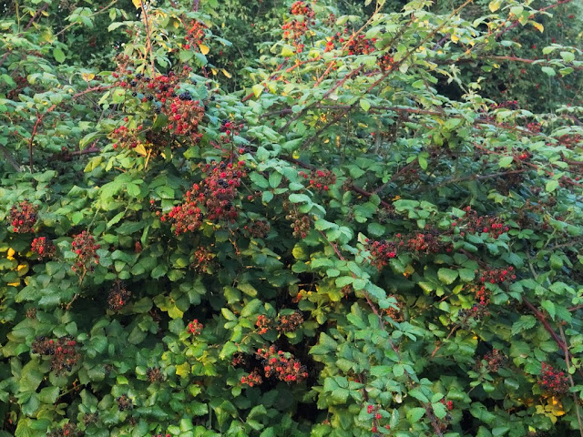 Bank of brambles bearing red and black berries