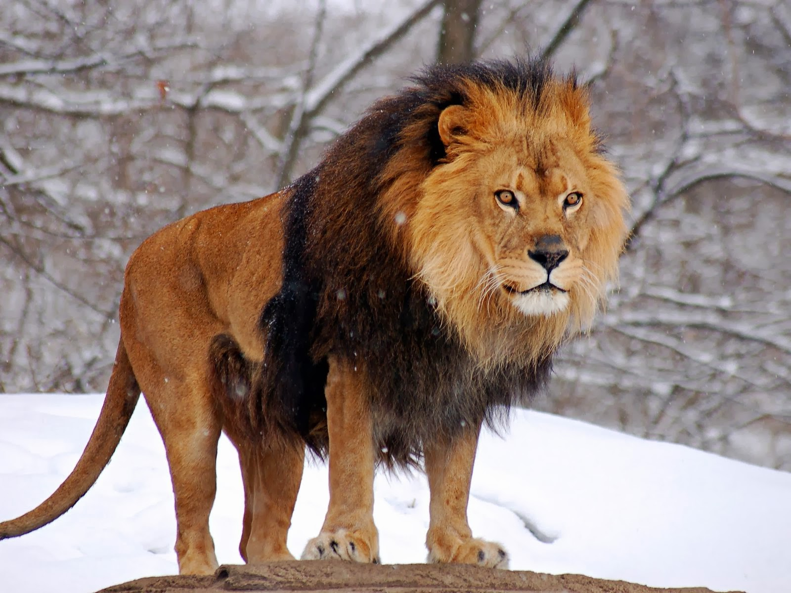 Wildlife Hd Wallpapers Lions Hd Wallpapers The King Of Jungle 2014