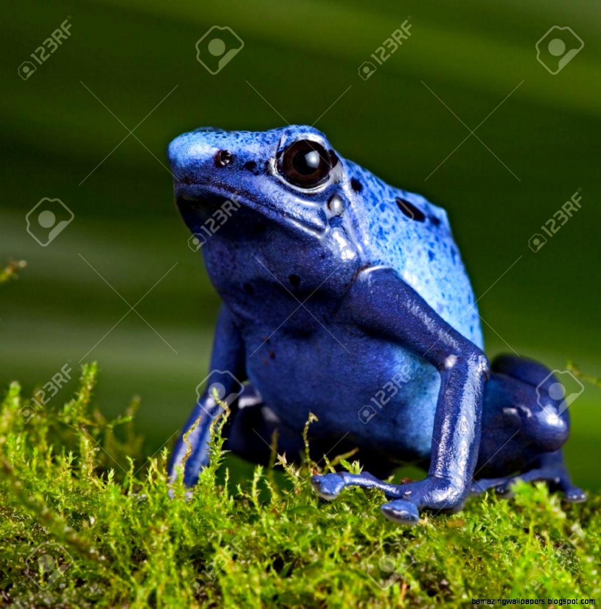 Blue Poison Dart Frog Poisonous Animal Of Amazon Rainforest