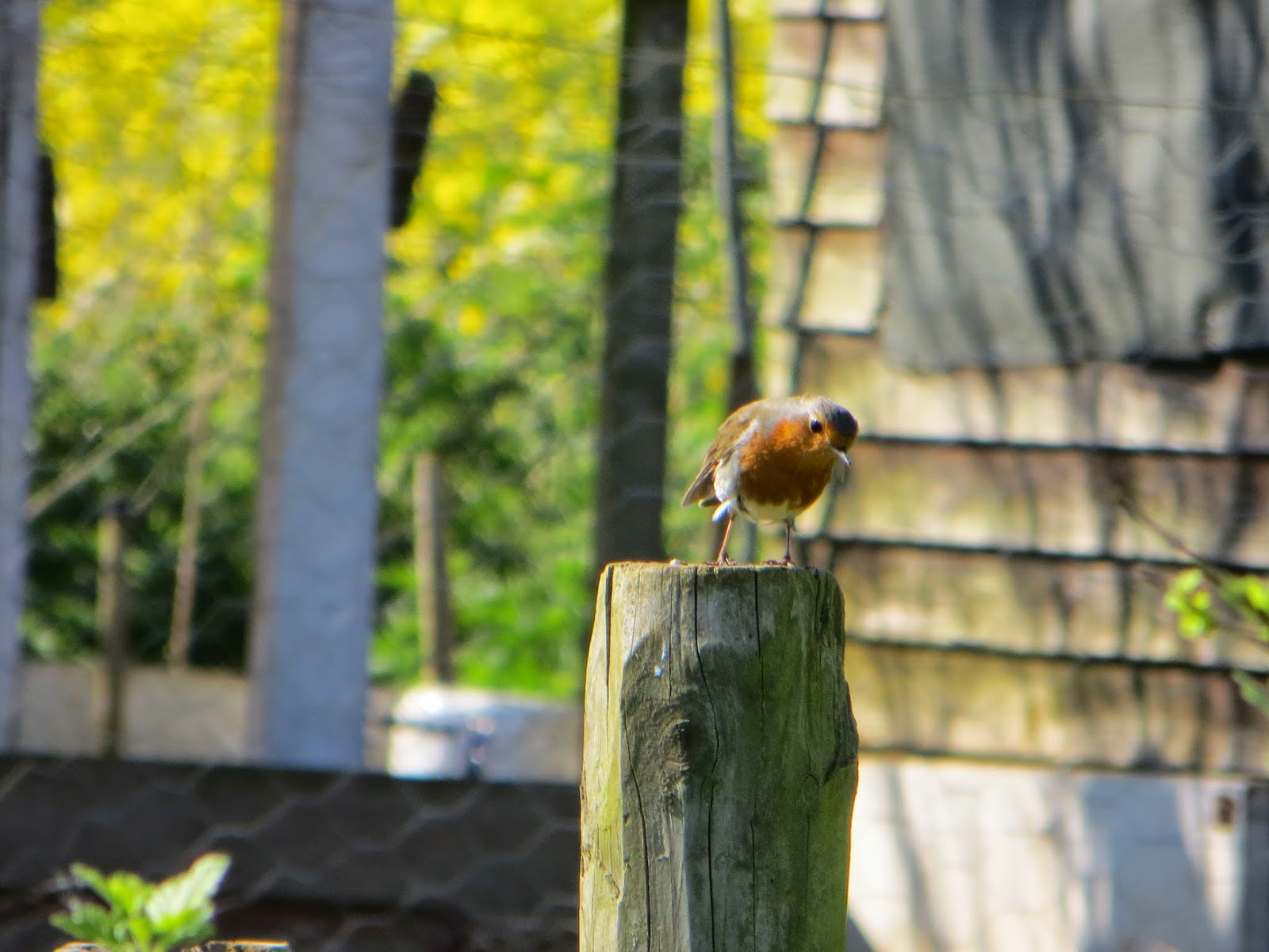 A robin came to visit.