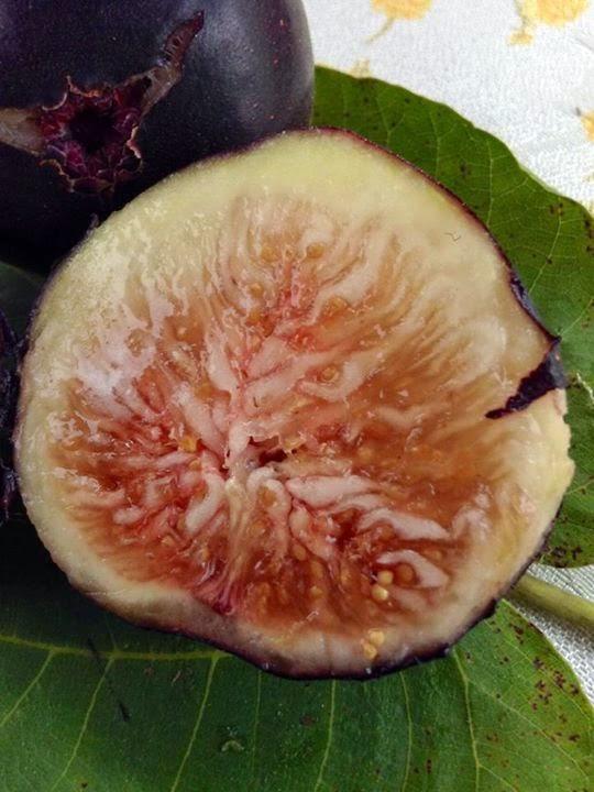 Figs : ALBACOR DE MOLLA DE MELO