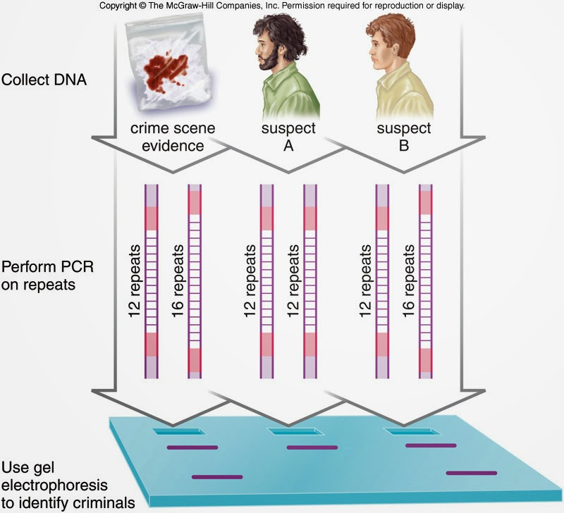 dna testing in crime scenes essay Dna databases codis state and even private agencies at various crime scenes dna can also be used to resolve disputes of paternity dna testing essay.