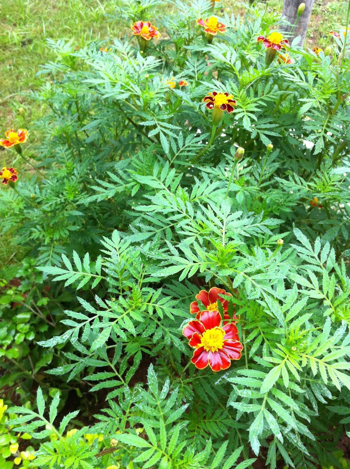 Maha jeevitham morningwalk nature collection 1 home garden common name marigold genda hindi sanarei manipuri jhenduphool marathi gondephool konkani izmirmasajfo