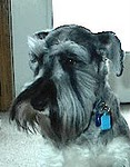 Levi My Mighty Schnauzer