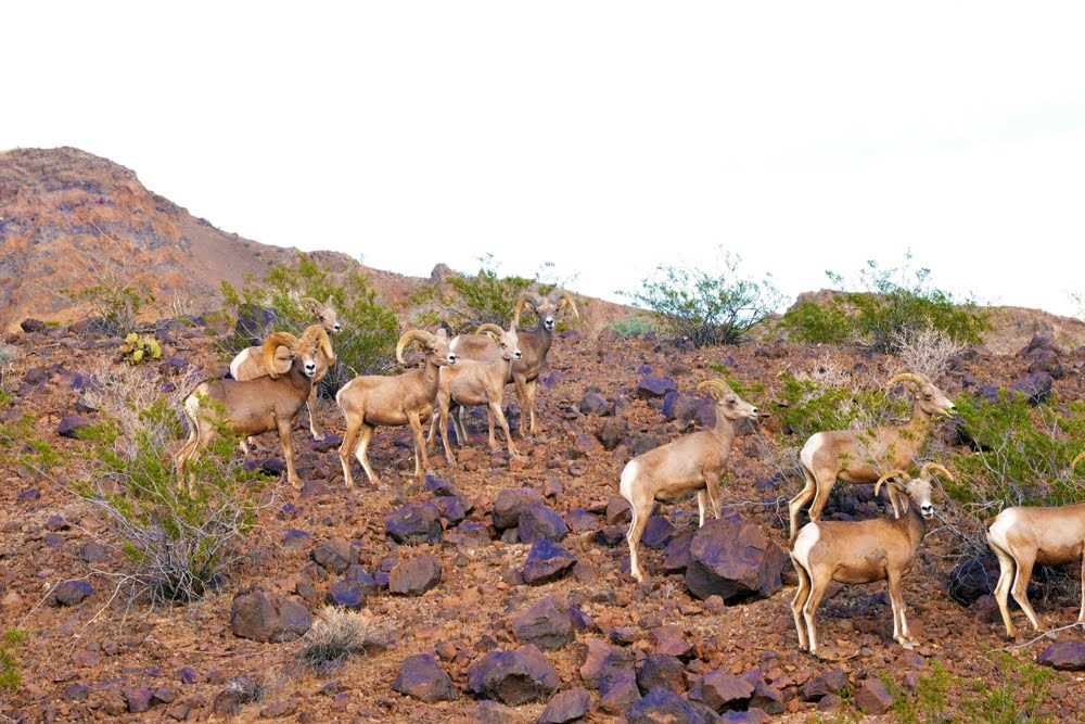 Desert Bighorn Sheep_4321