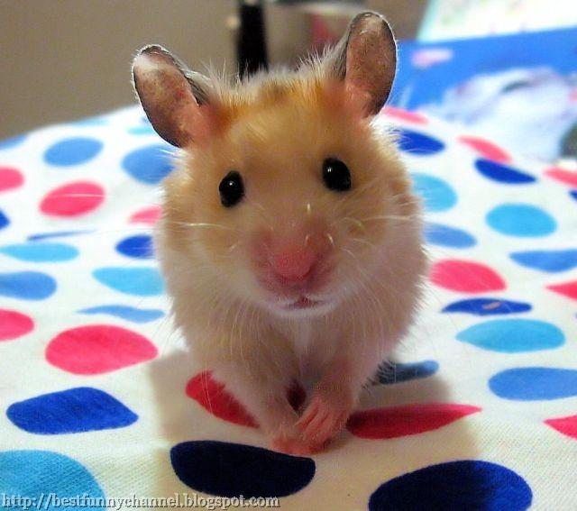 Sweet  Hamster.