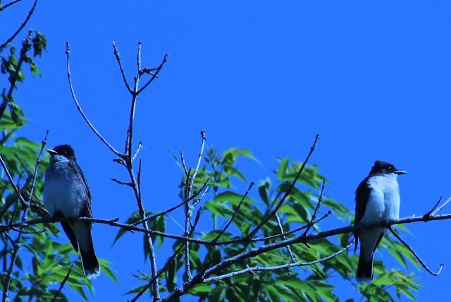 two eastern kingbirds