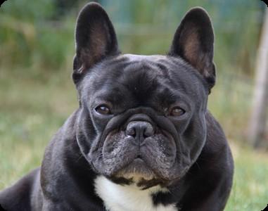 Photo - Présentation du Bouledogue Français ou French Bulldog