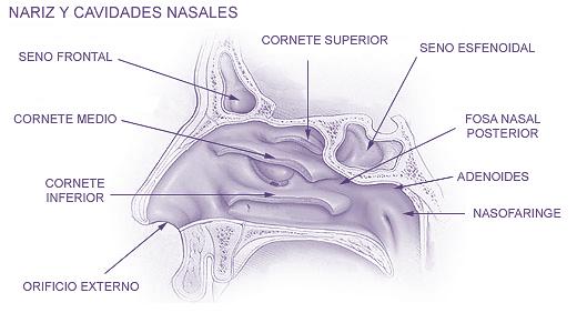 Fosas Nasales | Ciencias Naturales