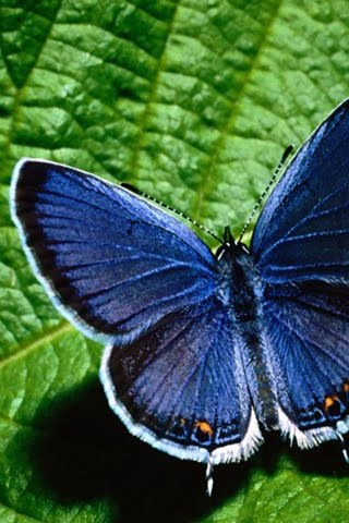 Beautiful Butterfly Mobile Phone Wallpaper 320x480 Wallpapers
