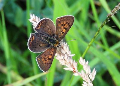 Lycaena tityrus, anverso alar de un macho