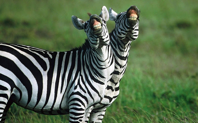 funny animal pictures, smiling zebras