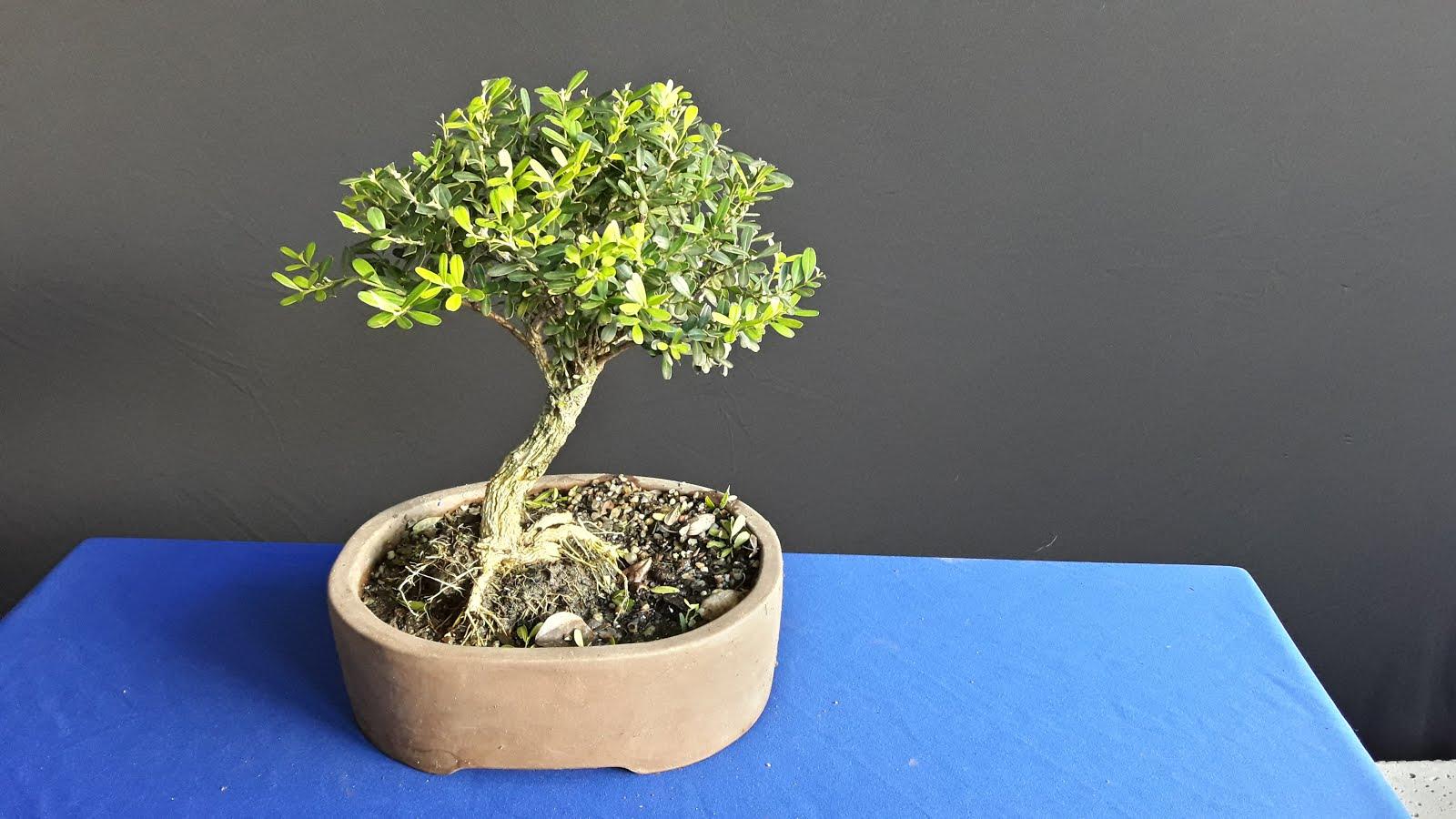 Bonsai  Buxinho