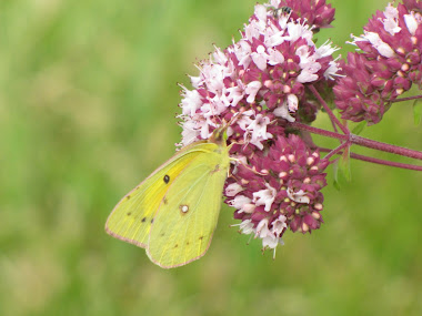 Yellow Sulphur Butterfly on Oregano Blossom